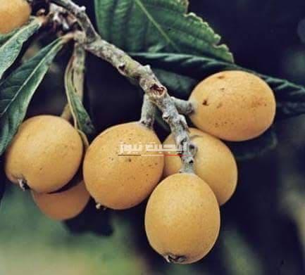 فوائد  فاكهة البشملة الصحية