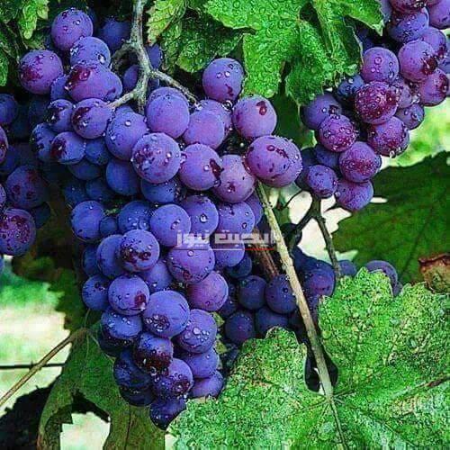 11 فائدة صحية للعنب الأحمر
